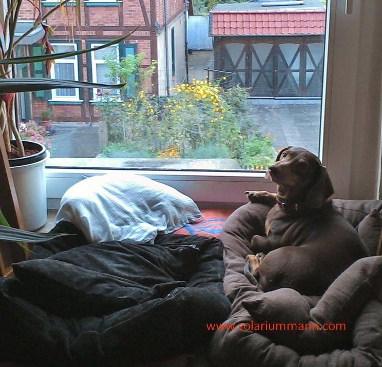 Dachshund Margot im Körbchen auf der Fensterbank